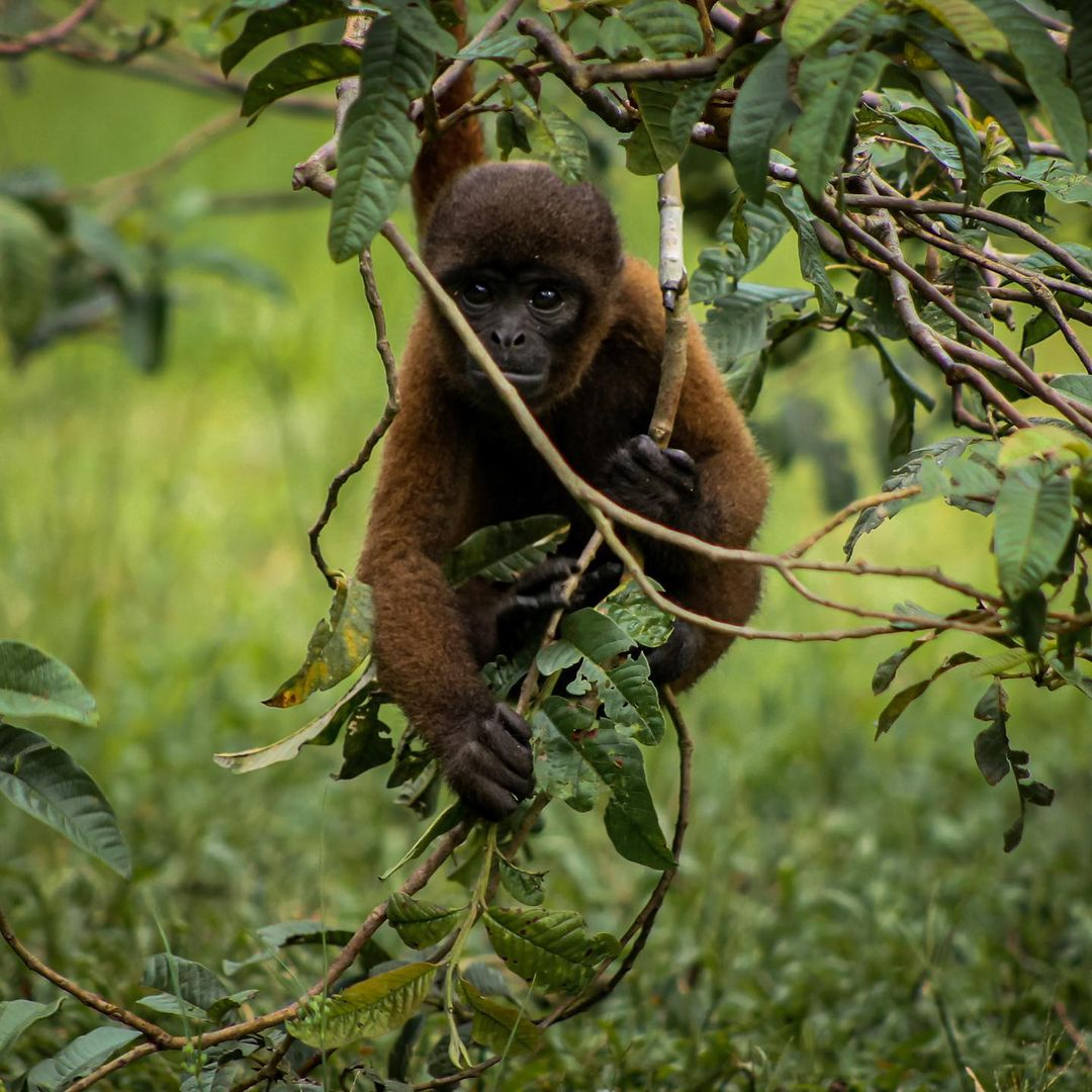 Cathleen Wooly Monkey Walking on grass at La Isla de Los Monos Peru