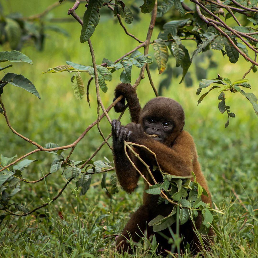 Cathleen Wooly Monkey Grazing in trees on grass at La Isla de Los Monos Peru