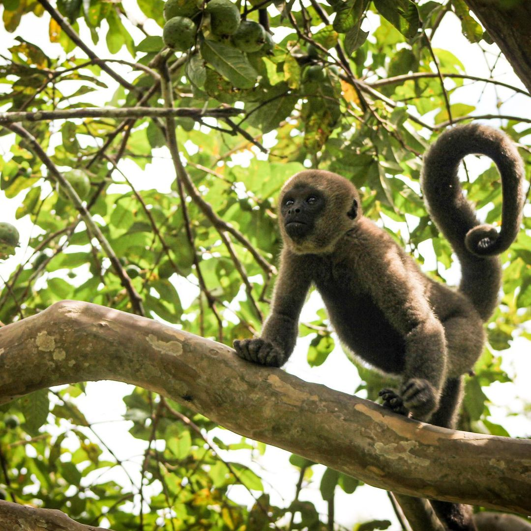 Adopt Grey Woolly Monkey Brenda 2