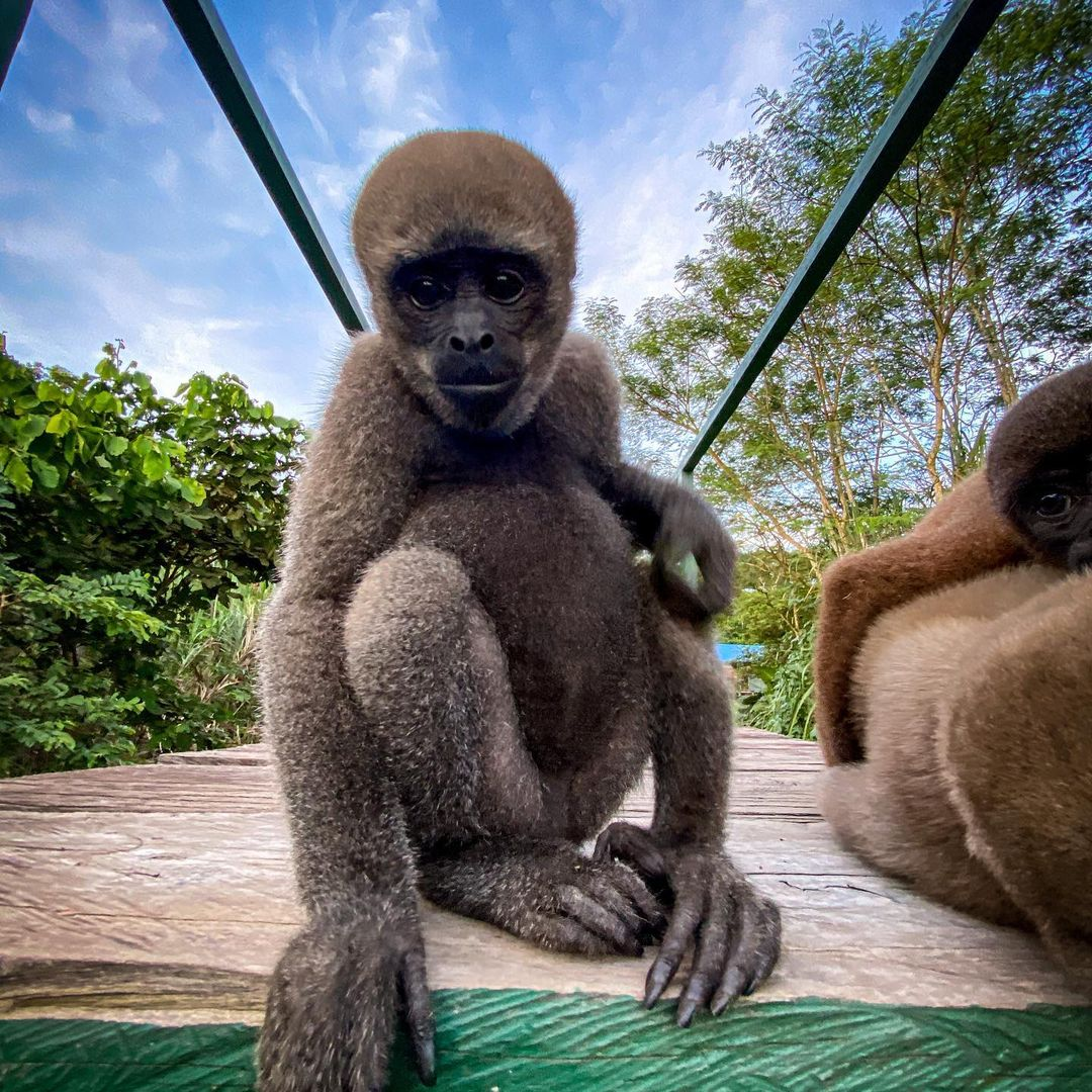 Adopt Grey Woolly Monkey Brenda 3
