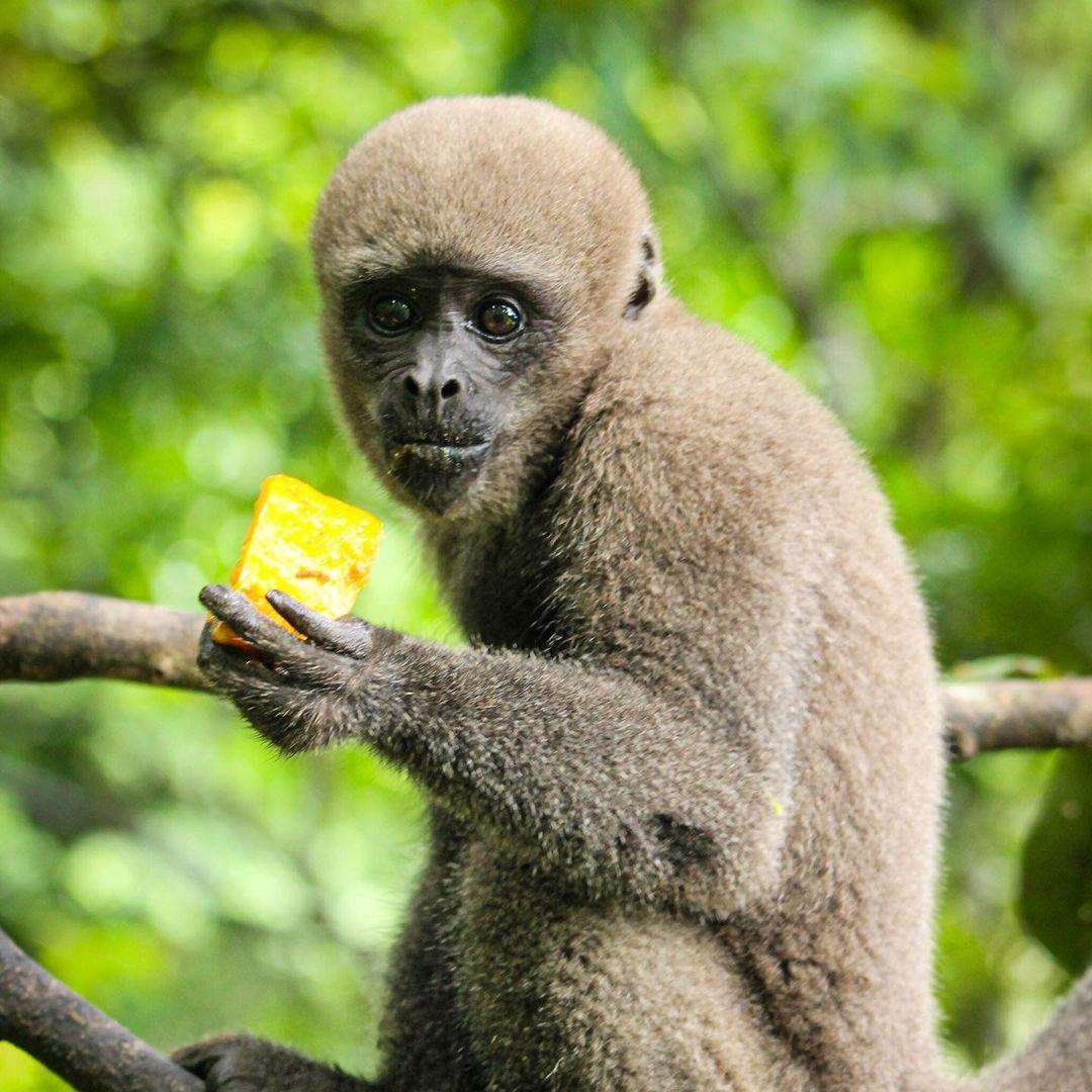 Adopt Grey Woolly Monkey Brenda 4