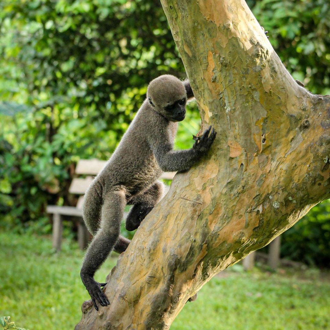 Adopt Grey Woolly Monkey Brenda 5