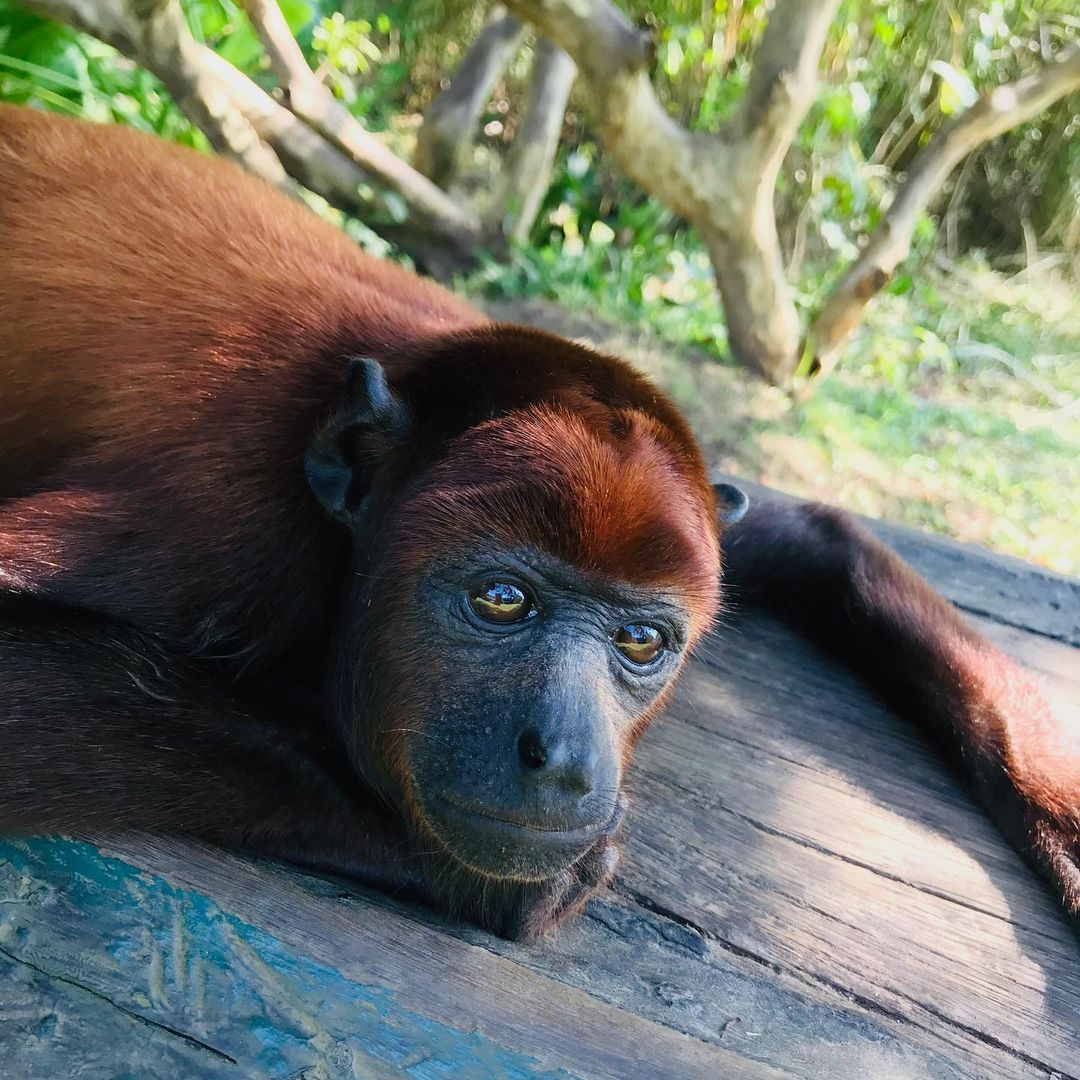Adopt Sponsor Ceci Howler Monkey 2