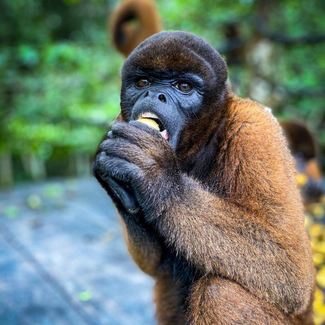 Mosita Woolly Monkey Eating fruit at la isla de los monos
