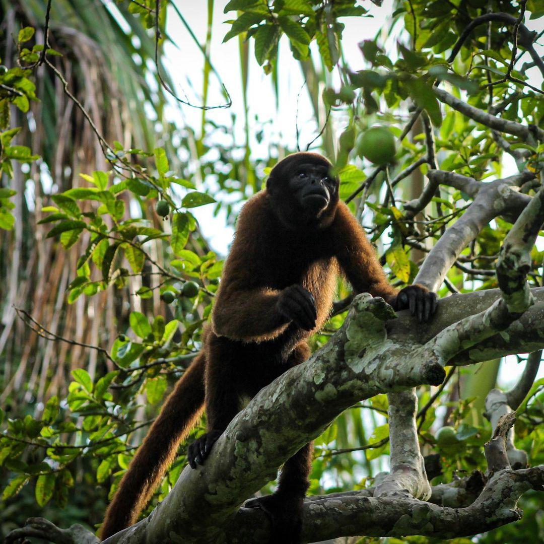 Mosita Woolly Monkey climbing a tree at la isla de los monos
