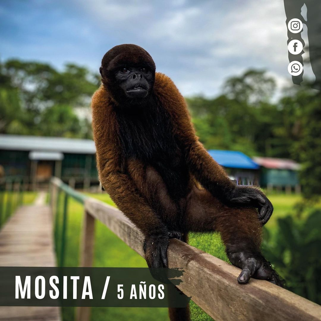 Mosita Woolly Monkey sitting on a beam at la isla de los monos