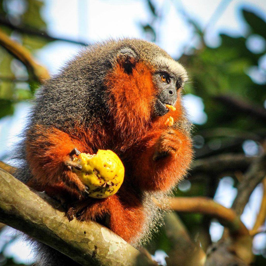 Pancho Titi Monkey 2