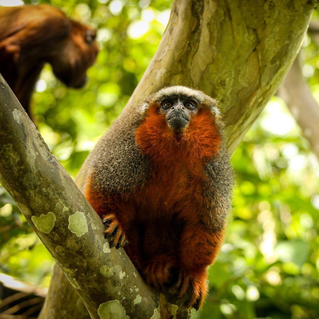 Pancho Titi Monkey 3