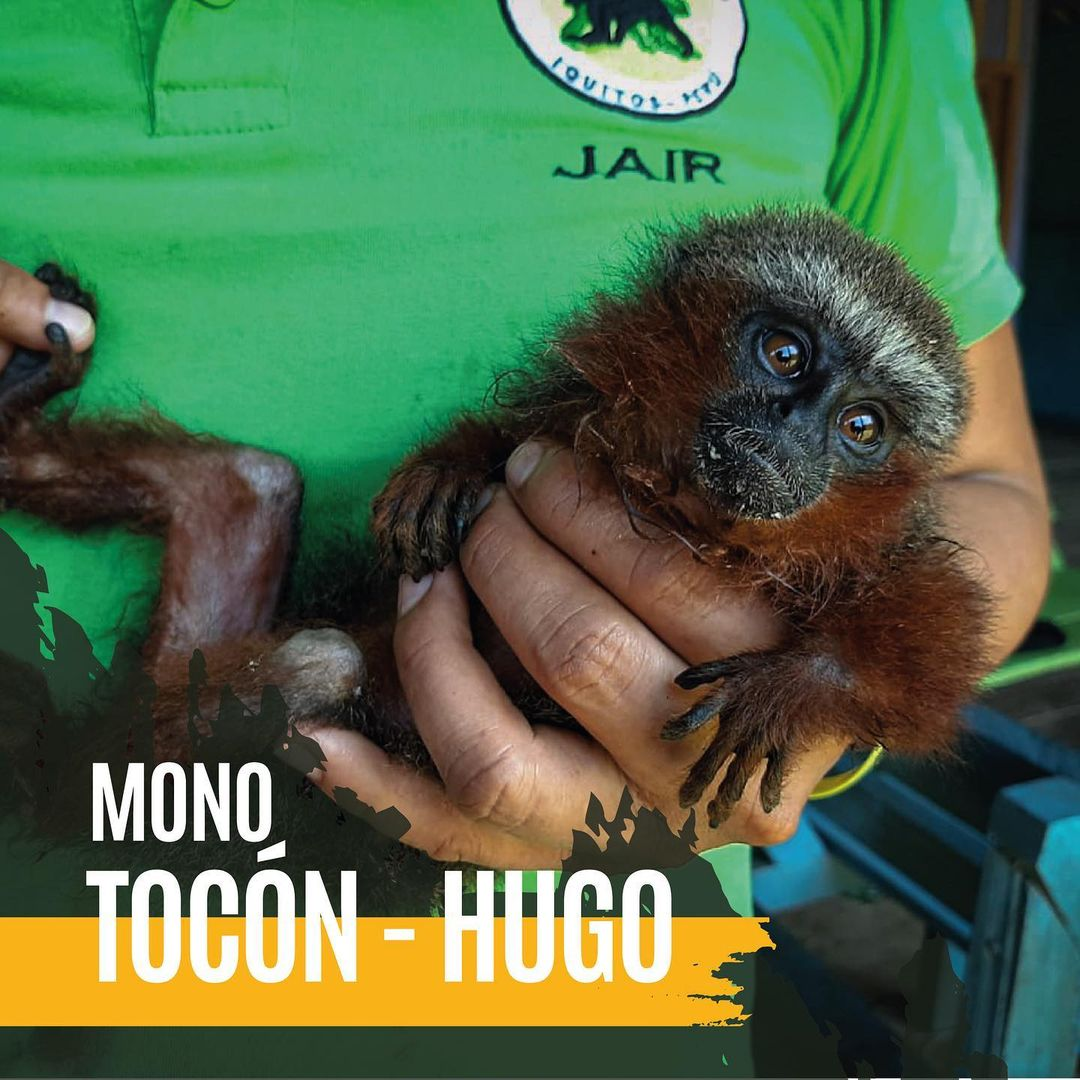 Titi Monkey being held by caring keeper at La Isla de Los Monos