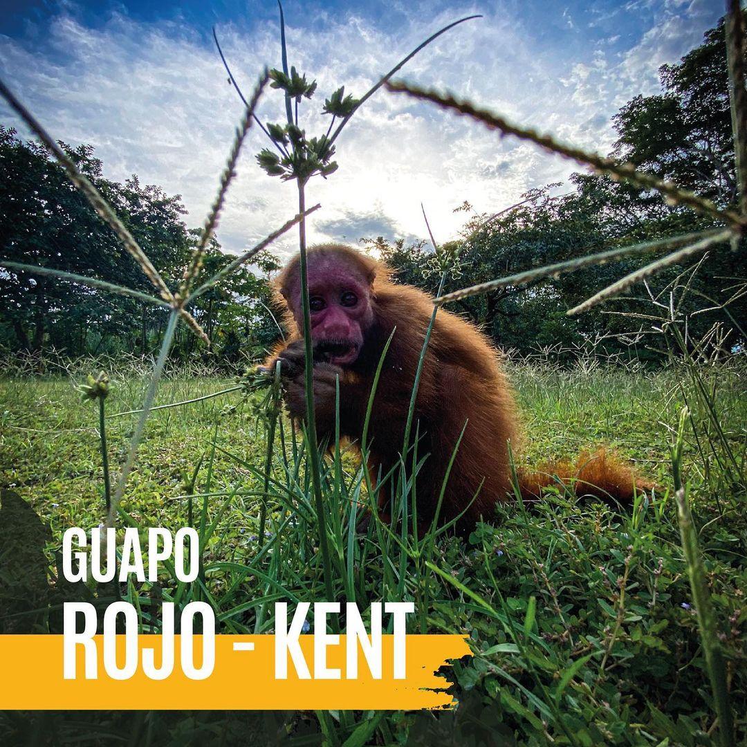 red uakari sitting in grass at la isla de los monos