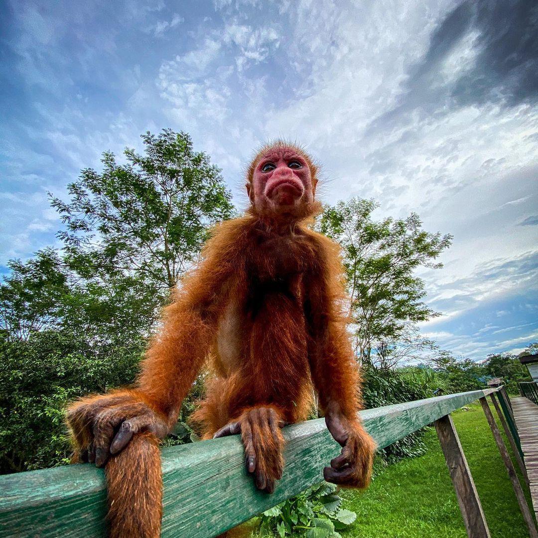 red uakari sitting on ledge at la isla de los monos